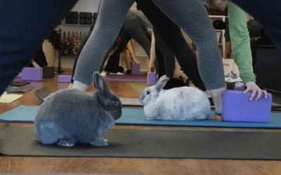2018 Rabbit Virus Outbreak in BC & Bunny Yoga on Break for April & May
