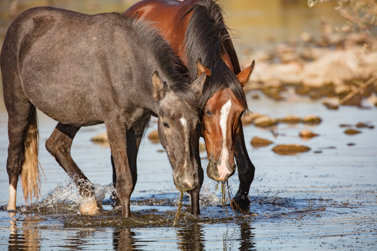 Tonto National Forest's Salt River Horses: Phoenix, Arizona