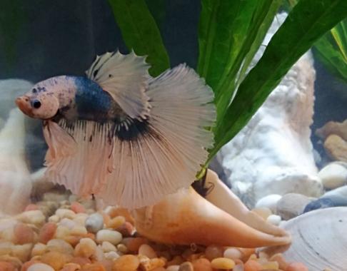 Isaiah Betta Fish Changing Colors 1