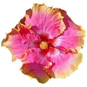 Bienvenue Cajun hibiscus flower