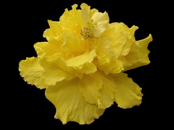 Saffron Moon Cajun Hibiscus