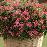 Soiree-Kawaii-Catha-Pink-1