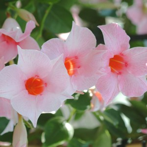 Sun-Parasol-mandevilla-Cream-Pink-original