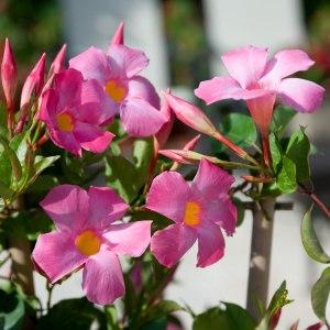 Sun-Parasol-mandevilla-pretty-pink-3