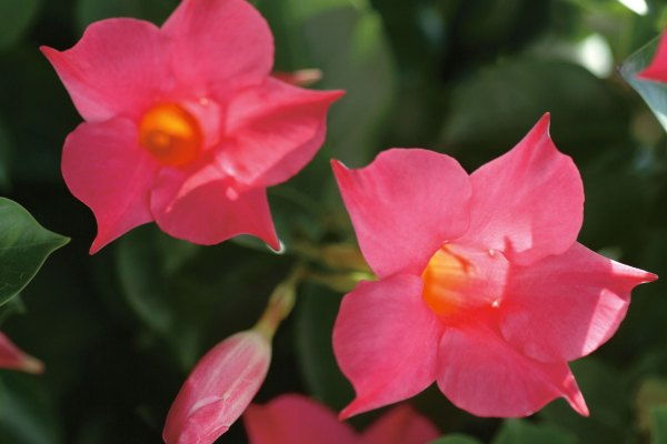 Sun-parasol-original-mandevilla-Pink-2