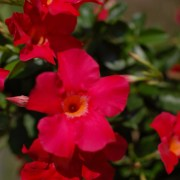 Sundenia-Dipladenia-coral