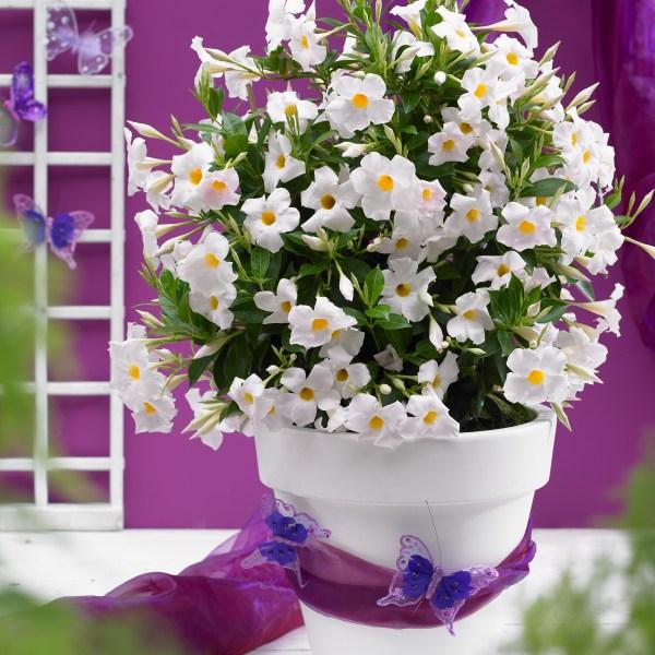 Sundenia-Dipladenias-white