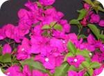 Violet bougainvillea