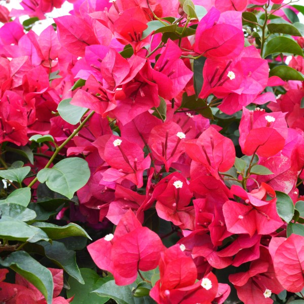 bougainvillea-helen-johnson
