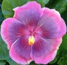 city-slicker-cajun-hibiscus
