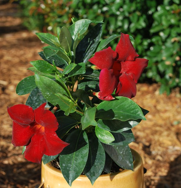 sun-parasol-mandevilla-Garden-Crimson-1