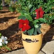 sun-parasol-mandevilla-Garden-Crimson-2