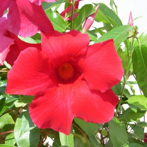 sun-parasol-mandevilla-Giant-Crimson-1