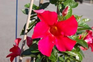 sun-parasol-mandevilla-original-strawberry-1