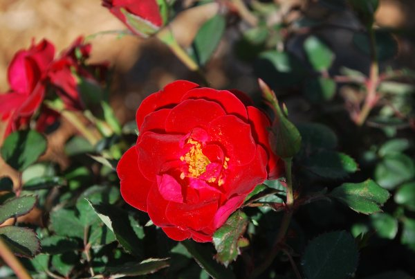 sunrosa-roses-red