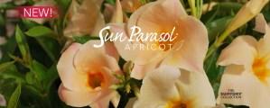 Sunfire-nurseries-sun-parasol-apricot-slide-ample3