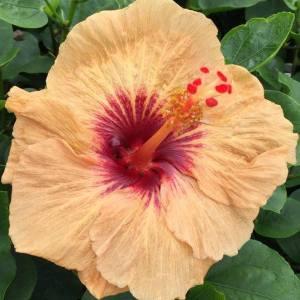 ambar-eve-hibiscus