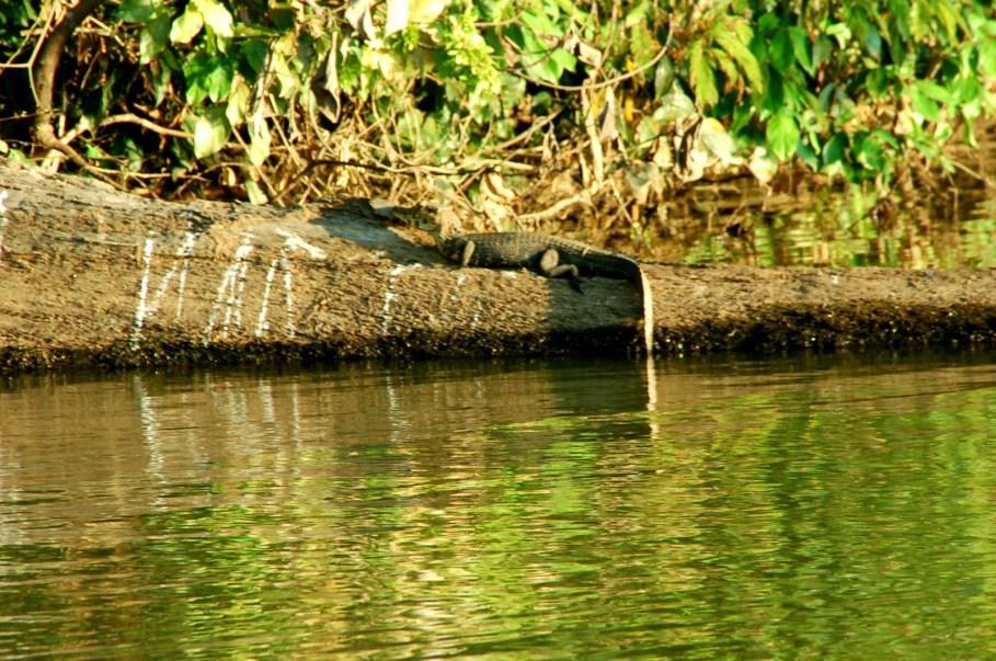 caiman tambopata