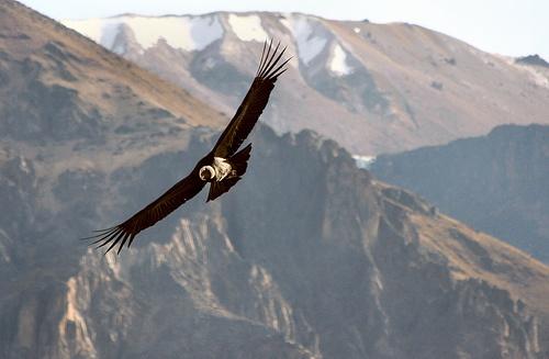 Highlight of Peru condor
