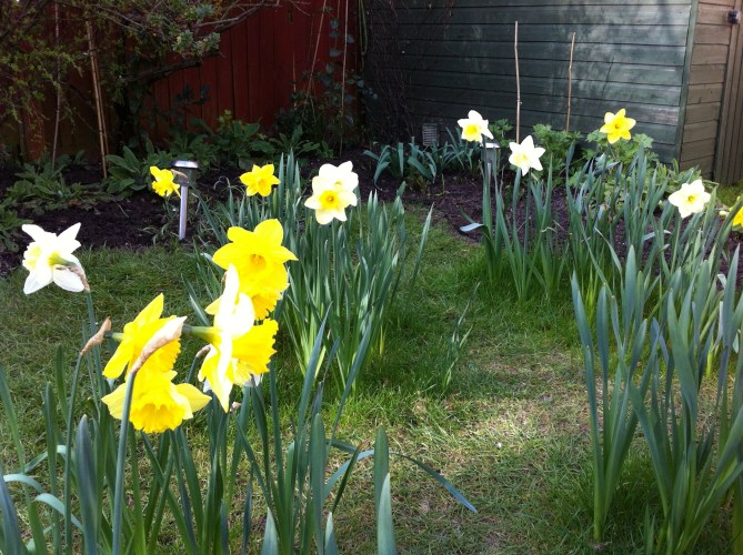 The Lawn Daffodils