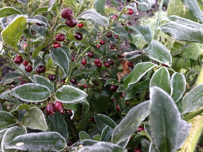 Sarcococca Berries