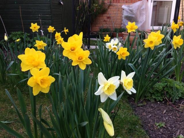 Lawn Daffodils 2013