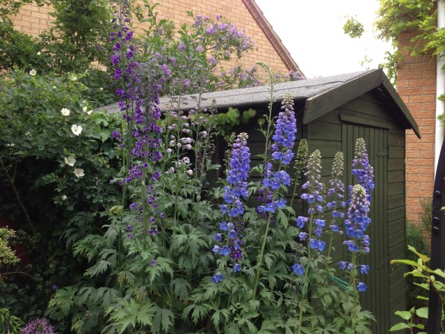 Delphiniums by the Shed