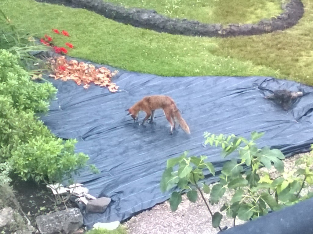 Fox on the Landscape Fabric