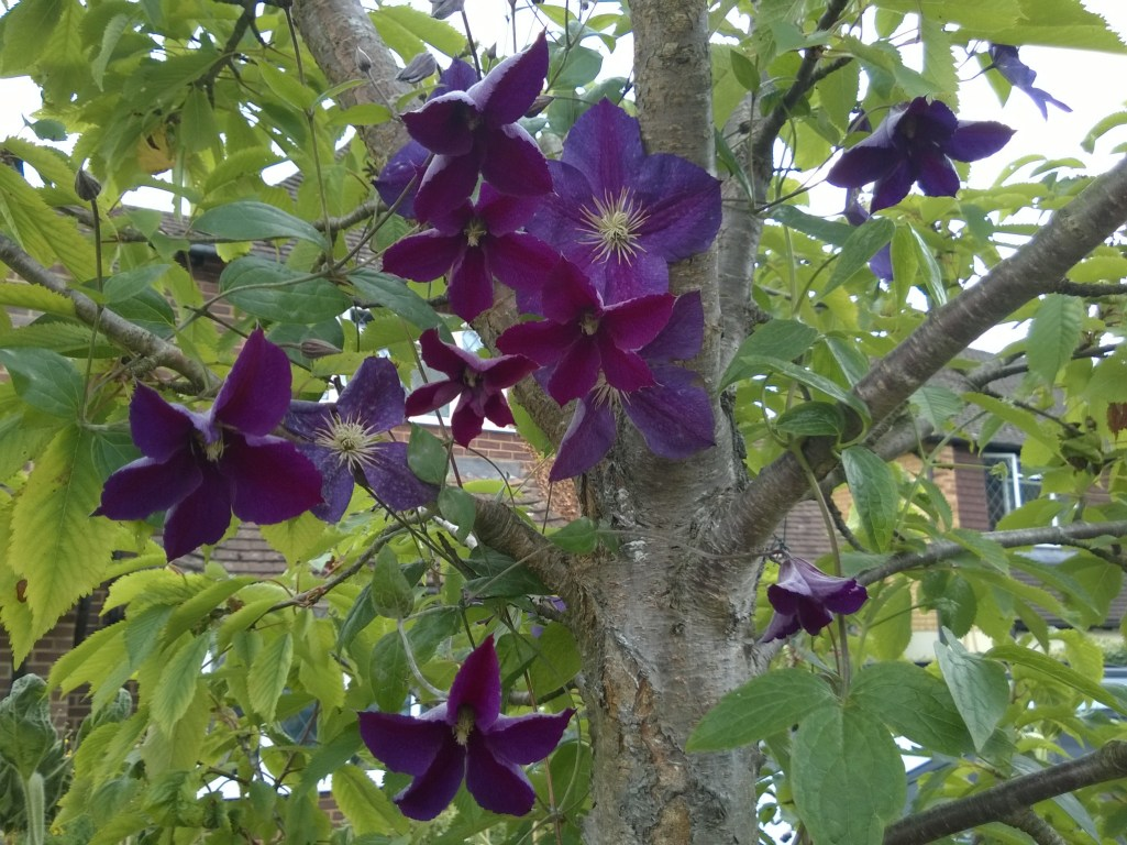"Clematis ""Star of India"" in an ornamental blossom tree"