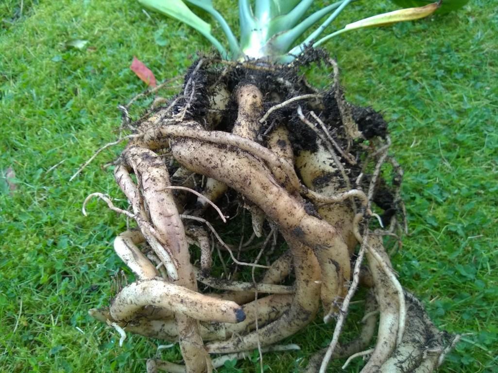 Strelitzia Roots