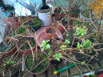 Overwintering Trailing Fuchsias