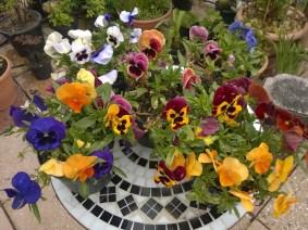 Flowering Pansies
