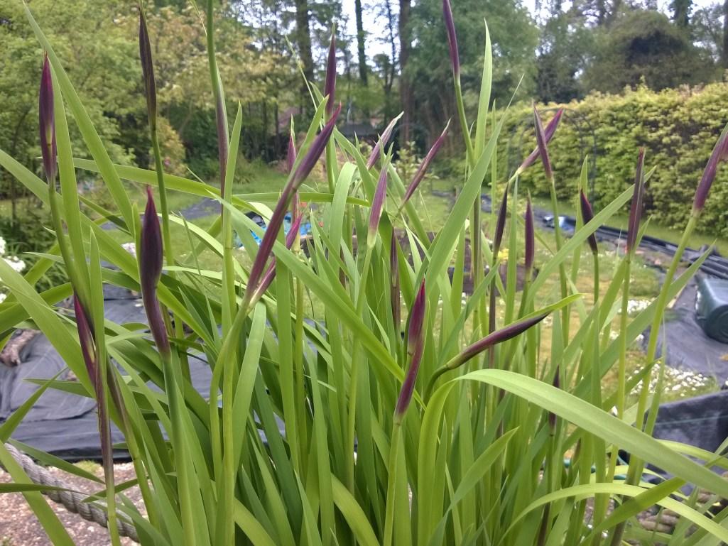 Iris Sibirica Flower Buds