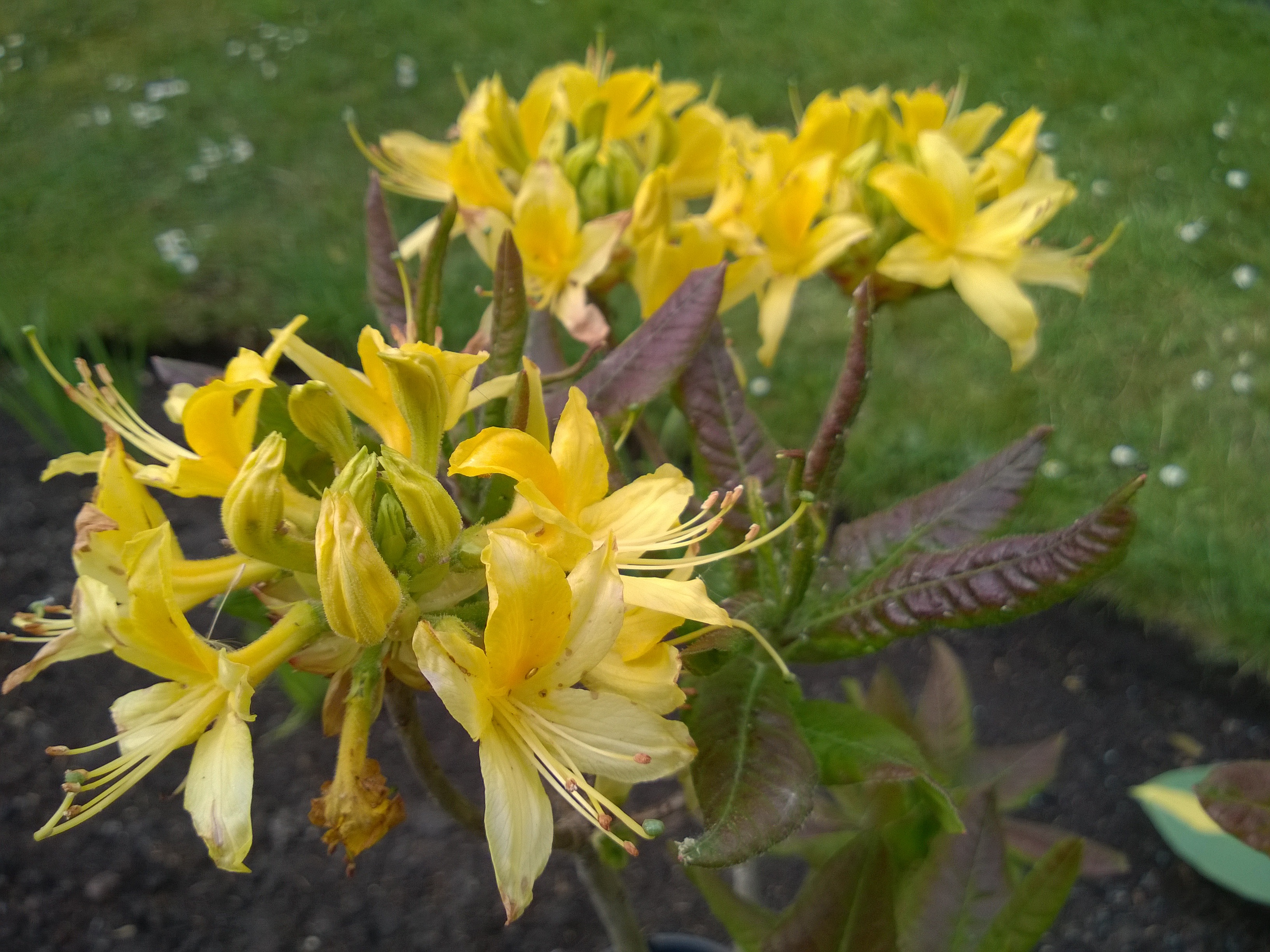 """Rhododendron """"Luteum"""""""