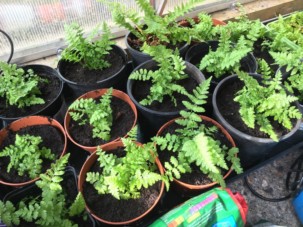Young Potted Ferns