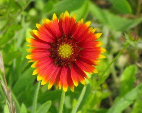 Flowers Indian Blanket Flower
