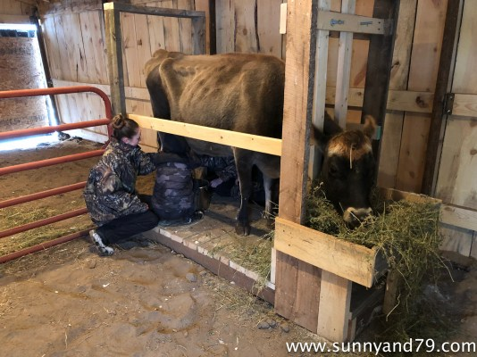 How I Built Our Milking Stanchion