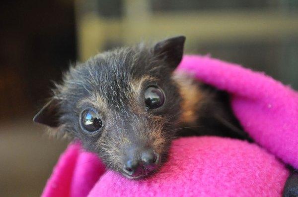 baby bat rescue hospital