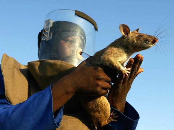 rats saving lives