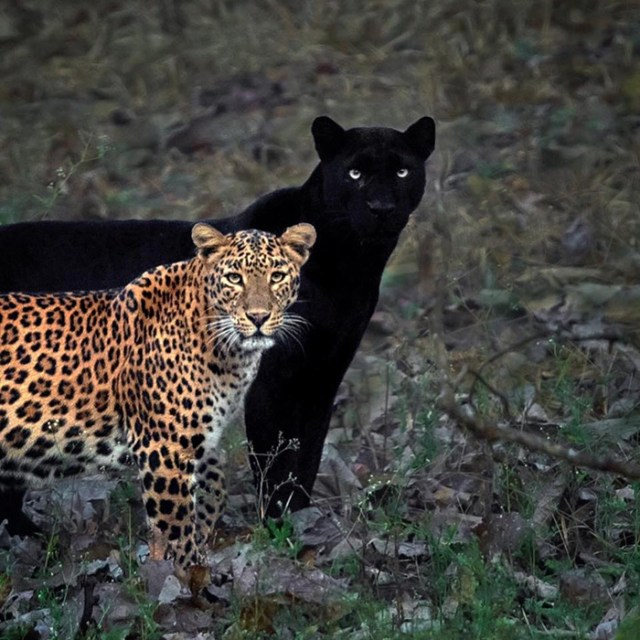 light and dark panther couple