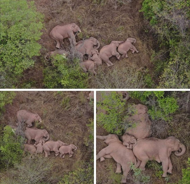 herd of elephants napping video