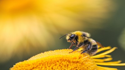 Bee Images for Apis Mellifica