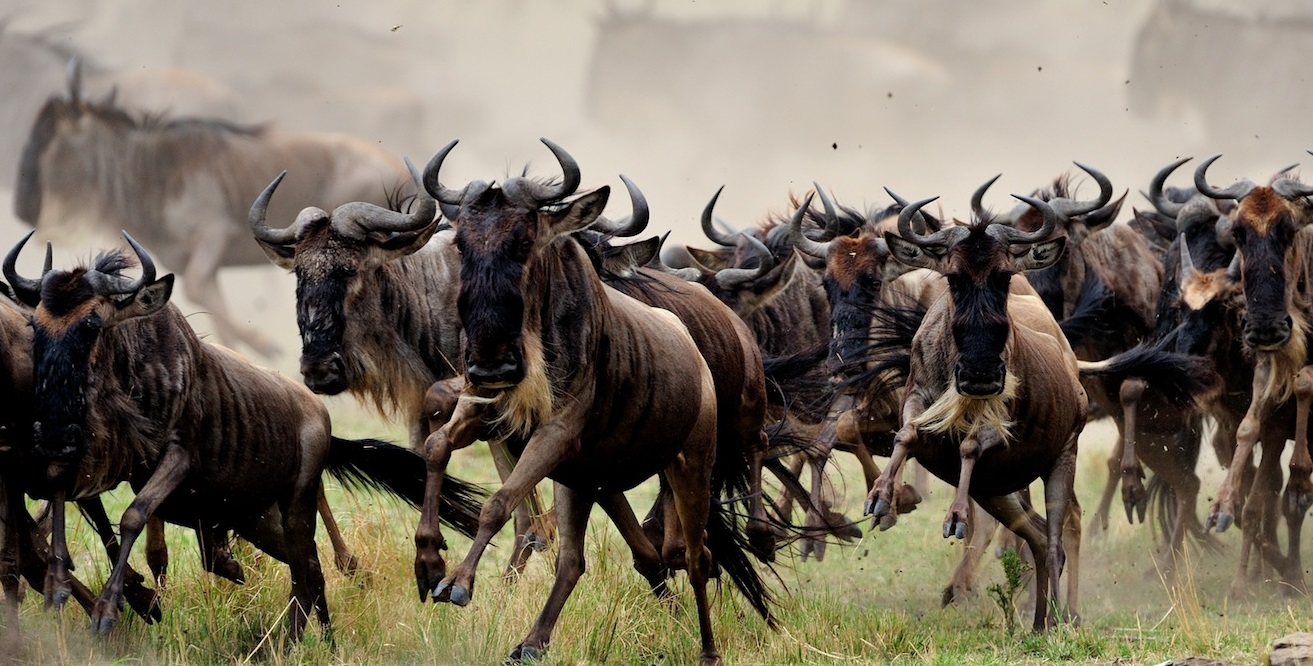 The Great Wildebeest Migration at the Masai Mara. PHOTO | COURTESY