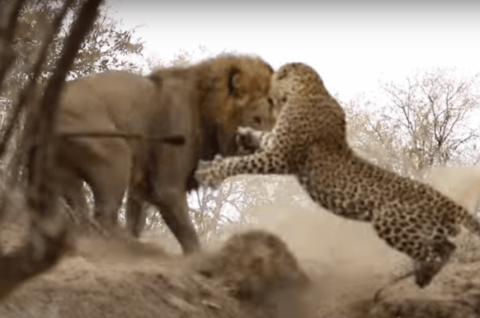 Video of Lion Attacking a Leopard at Kirkman's Camp in Kruger