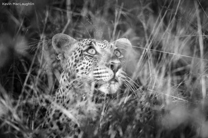 Leopard vs Leopard vs Hyenas in Sabi Sand