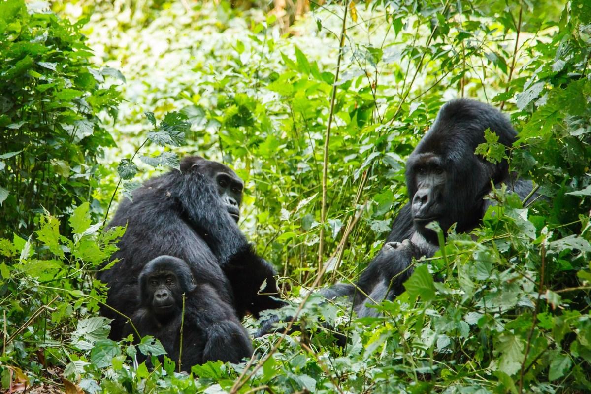 Gorilla Trekking in Rwanda, Opening August 2019 : Gorilla Trekking in Rwanda, Singita Style!