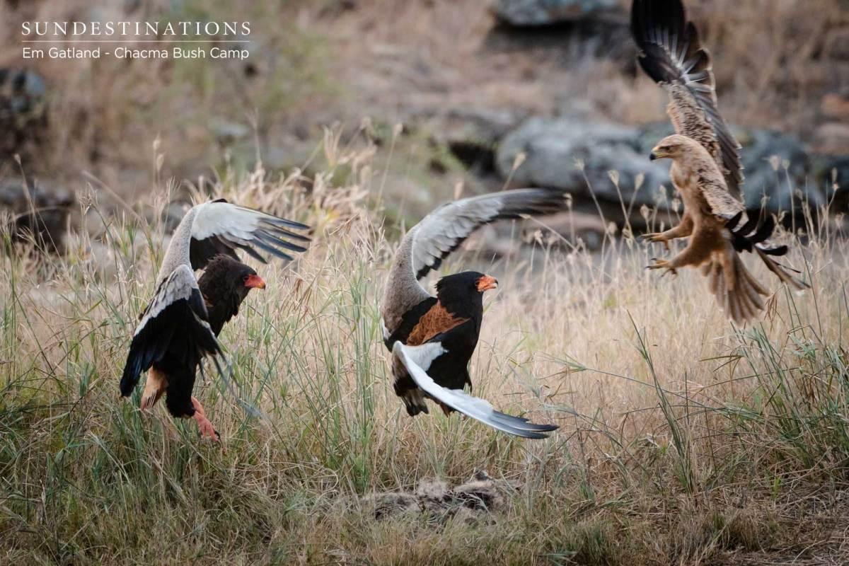 Kruger Birding Safari, Kruger Birding Safari : The Elegant Eagles