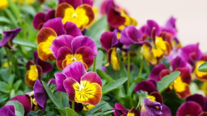 Best Winter Flowers for Color   Sunset Magazine Great plants for fall and winter color
