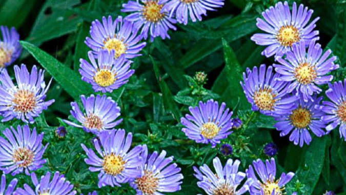 9 Best Summer Flowers   Sunset Magazine Aster
