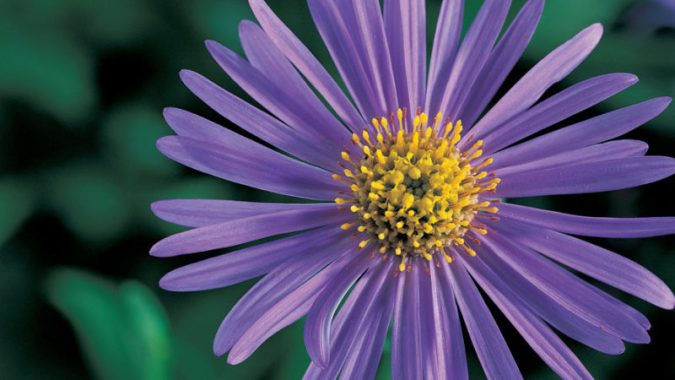 Easy Growing Aster Flower Varities   Sunset Magazine  M    nch  aster